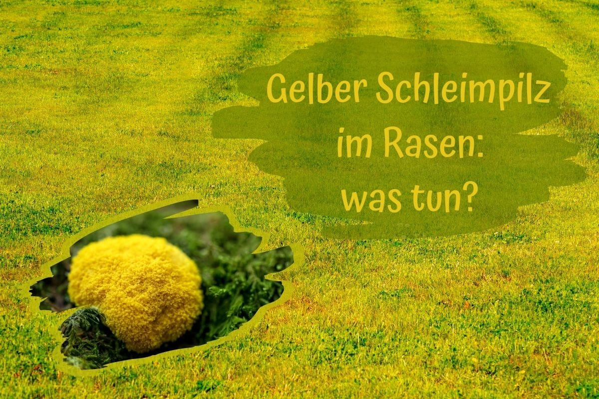 gelber Schleimpilz - Titel