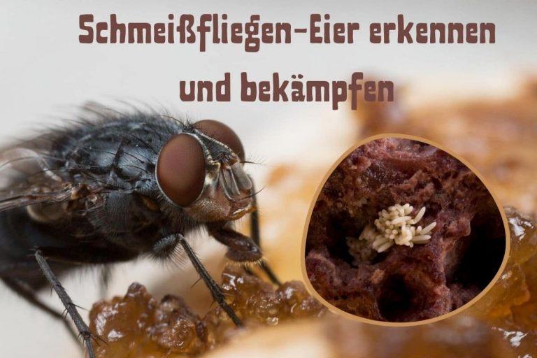 Schmeißfliegen-Eier - Titel