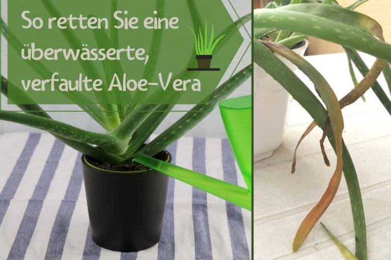 überwässerte Aloe-Vera