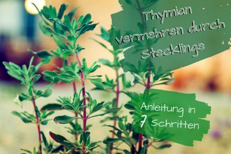Thymian Stecklinge - Titel
