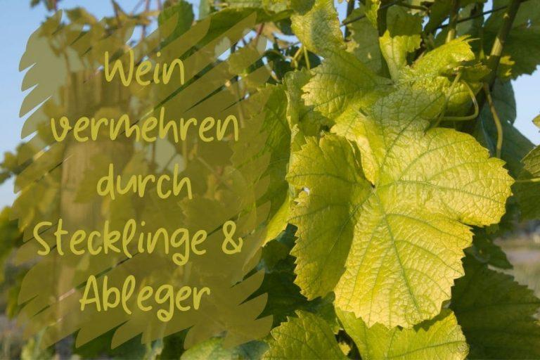 Wein vermehren