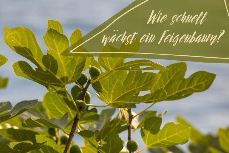 Wachstum Feigenbaum