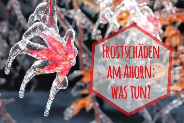 Frostschäden am Ahorn - Titel