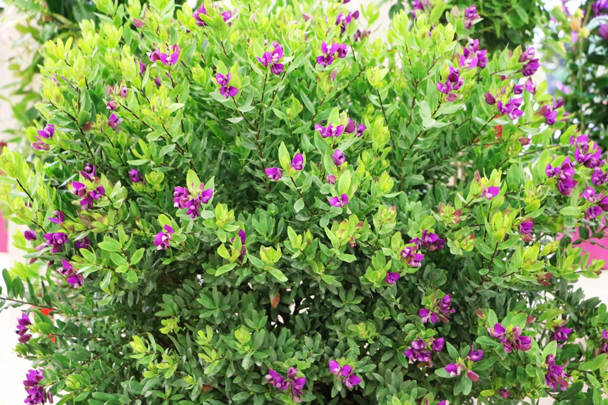 Kreuzblume - Polygala myrtifolia