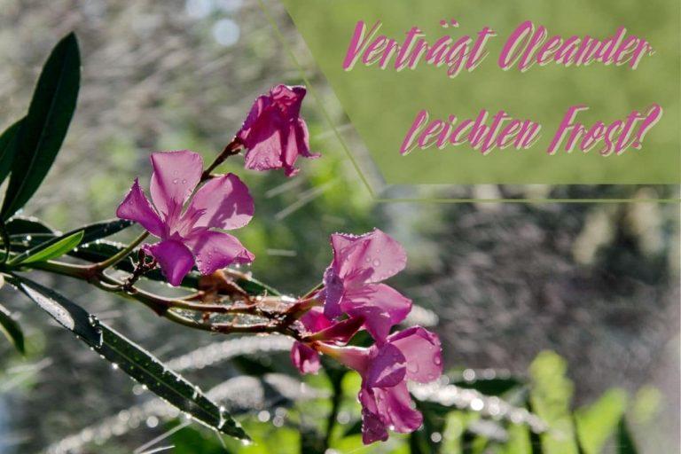 Oleander frostempfindlich - Titel