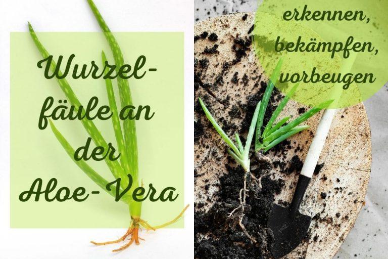 Aloe-Vera Wurzelfäule - Titel