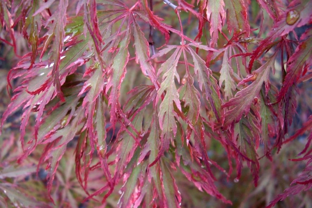 Dunkelroter Schlitzahorn 'Garnet', Rote Blätter