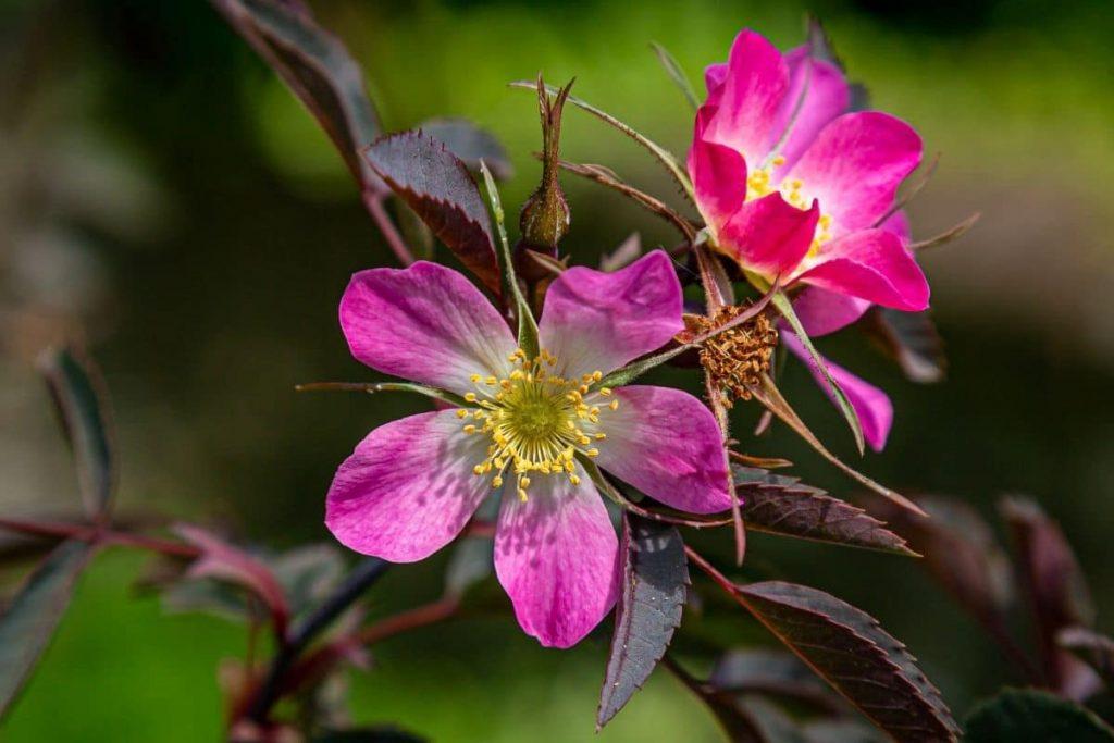 Hechtrose, Rote Blätter