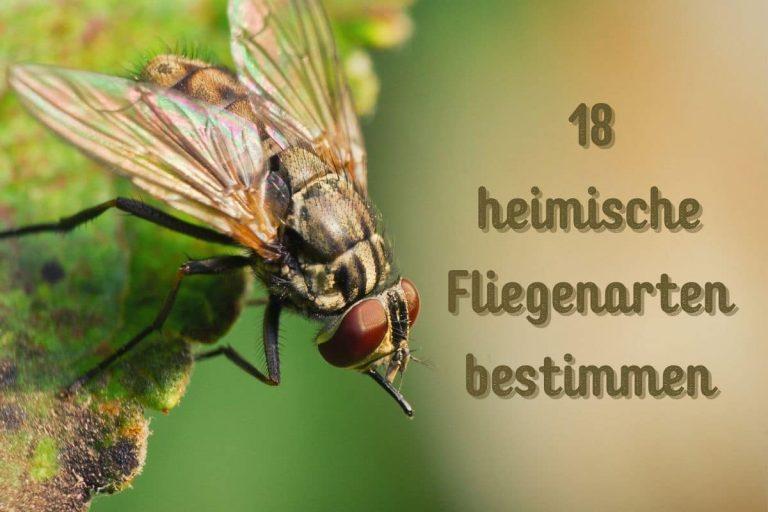heimische Fliegenarten - Titel