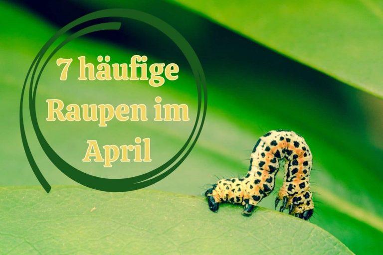 Raupen im April - Titel
