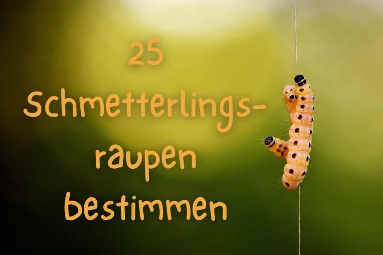 Schmetterlingsraupen bestimmen - Titel