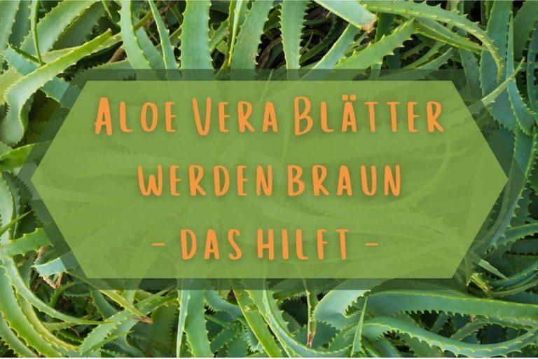 Aloe Vera Blätter werden braun - Titel
