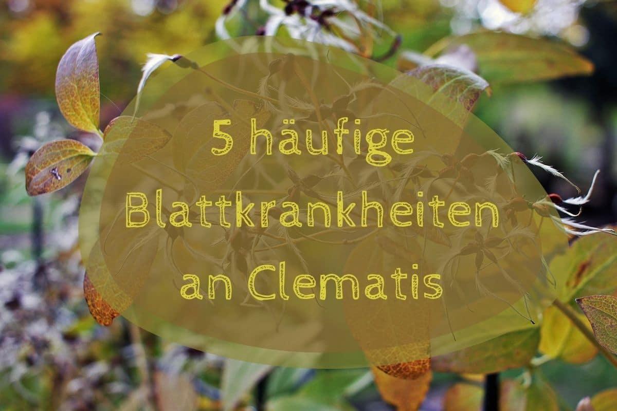 Blattkrankheiten an Clematis - Titel