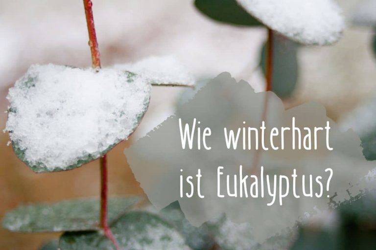 Wie winterhart ist Eukalyptus - Titel