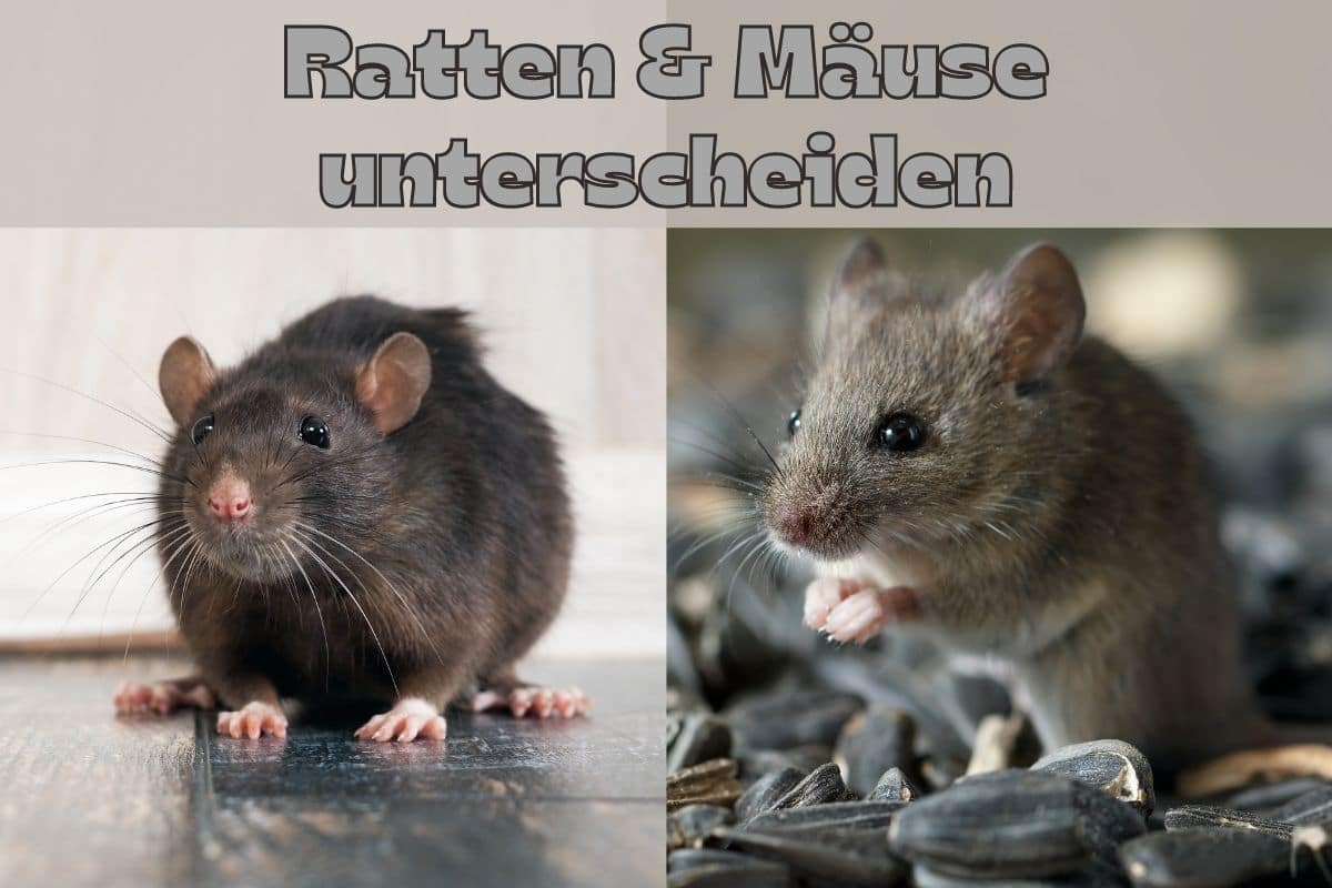 Mäuse und Ratten unterscheiden - Titel