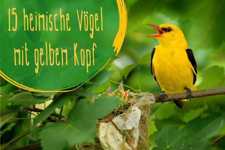 Vögel mit gelbem Kopf - Titel