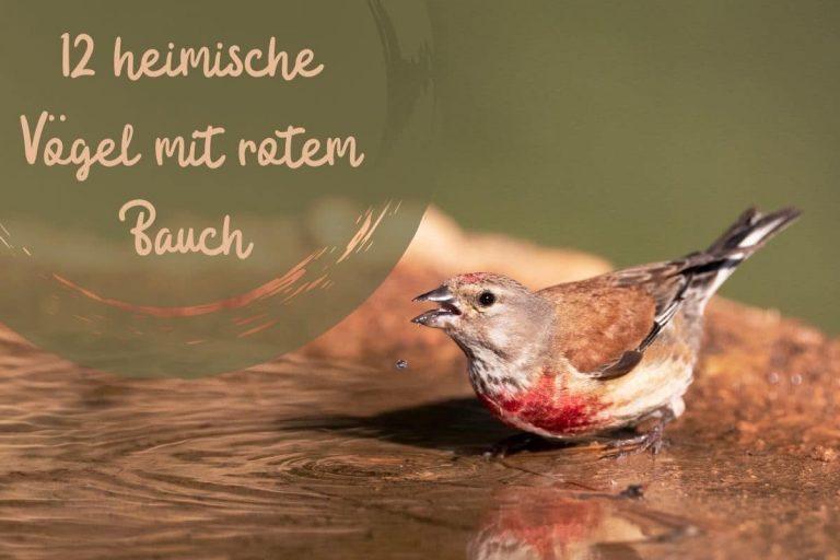 Vögel mit rotem Bauch - Titel