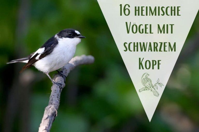 Vögel mit schwarzem Kopf - Titel