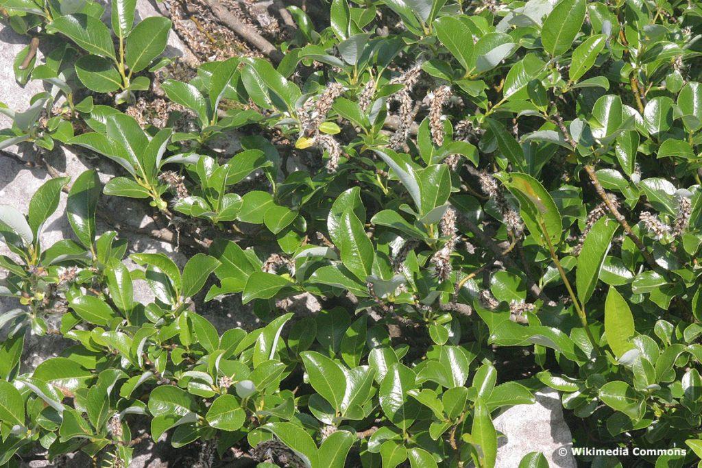 Kahle Weide (Salix Glabra)
