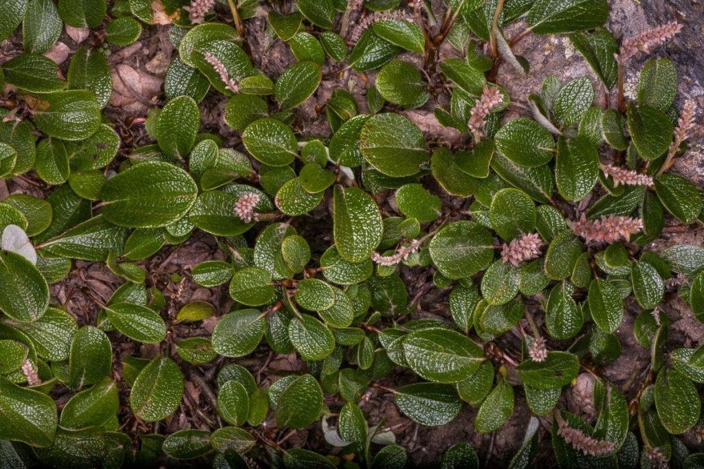 Netzweide (Salix reticulata)