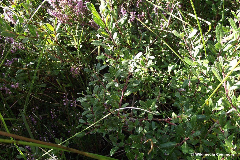 Purpurweide (Salix purpurea)