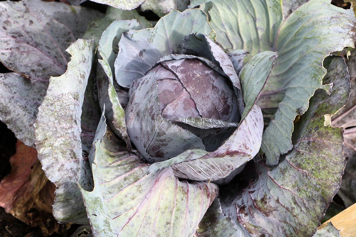 Aussaat im Juni: Rotkohl, Wintergemüse im Hochbeet