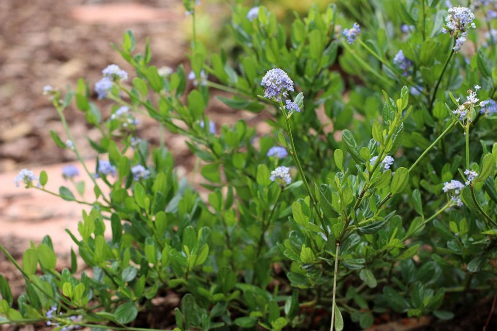 Säckelblume - Ceanothus