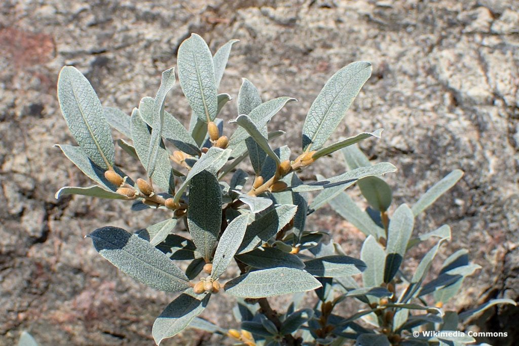 Schweizer Weide (Salix helvetica)