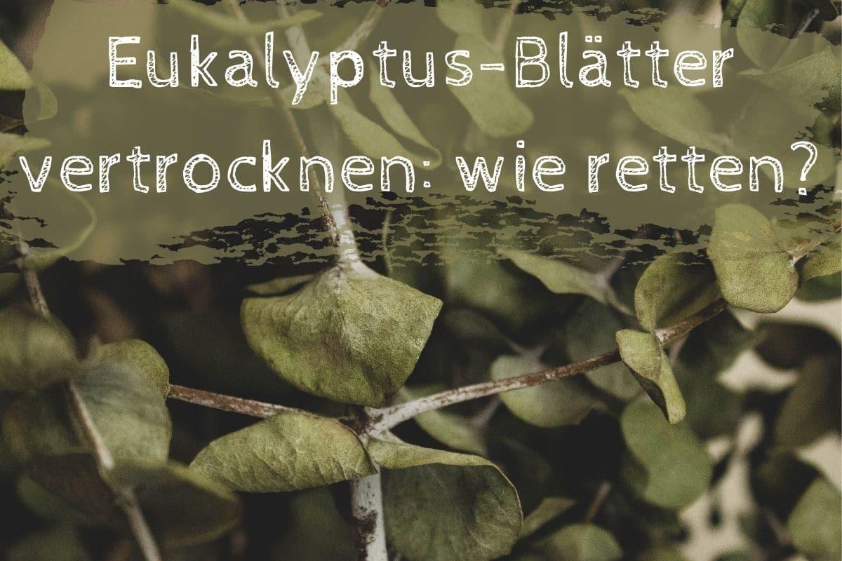 Eukalyptus Blätter vertrocknen - Titel