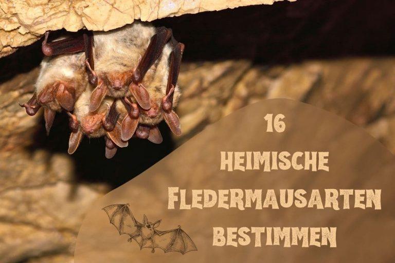 Fledermäuse bestimmen - Titel