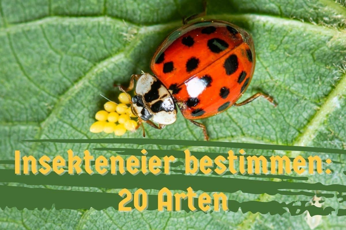 Insekteneier bestimmen - Titel