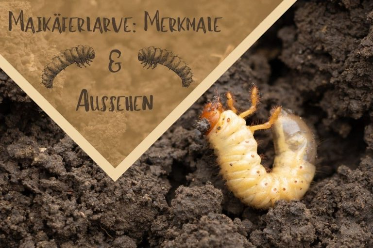 Maikäferlarve erkennen - Titel