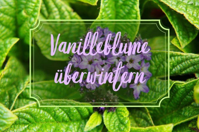 Vanilleblume überwintern - Titel