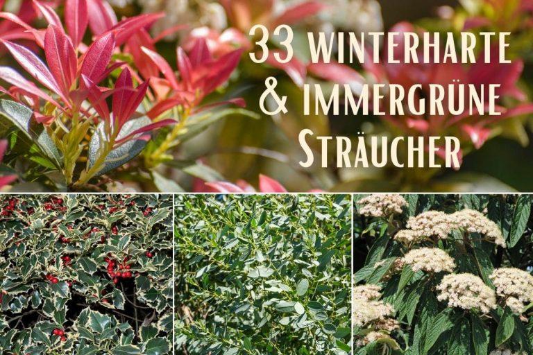 winterharte und immergrüne Sträucher - Titel