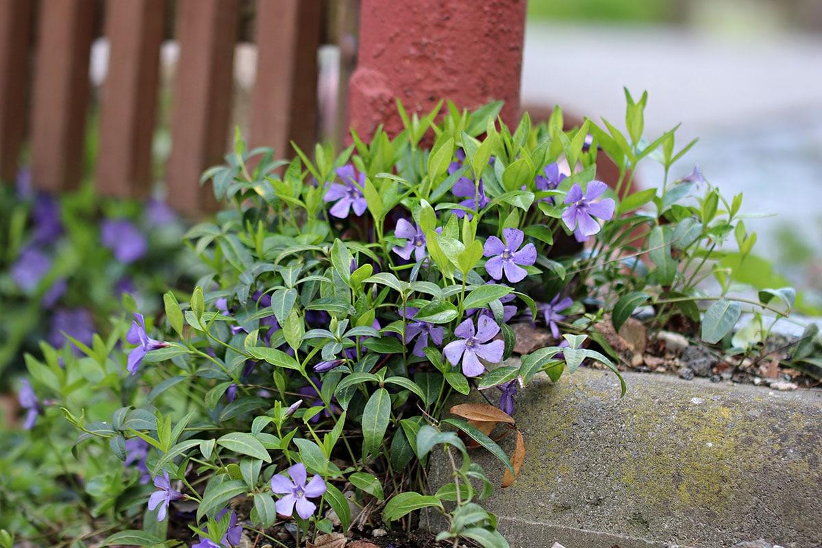 Winterharte Hängepflanzen: Kleines Immergrün (Vinca minor)