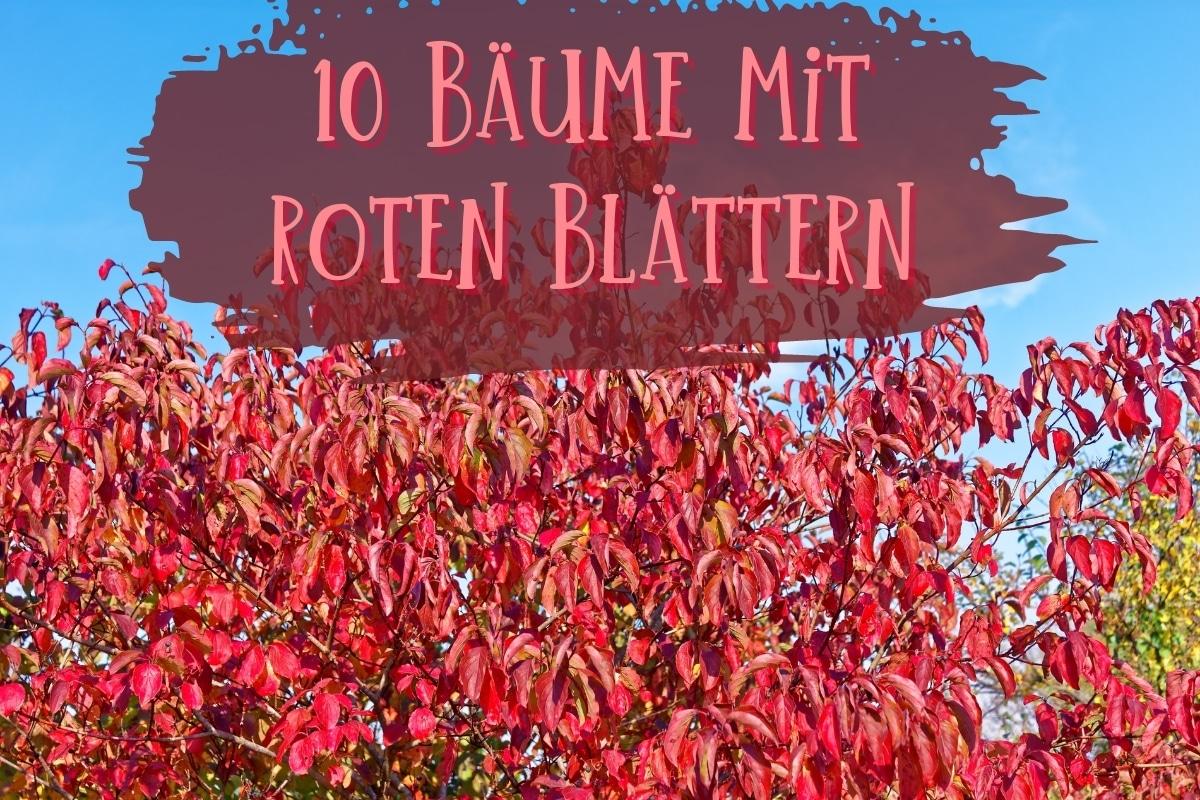 Bäume mit roten Blättern - Titel