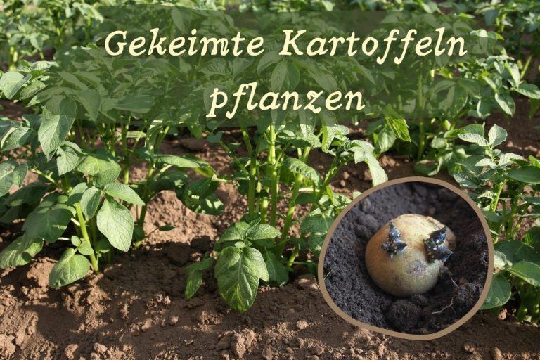 gekeimte Kartoffeln pflanzen - Titel