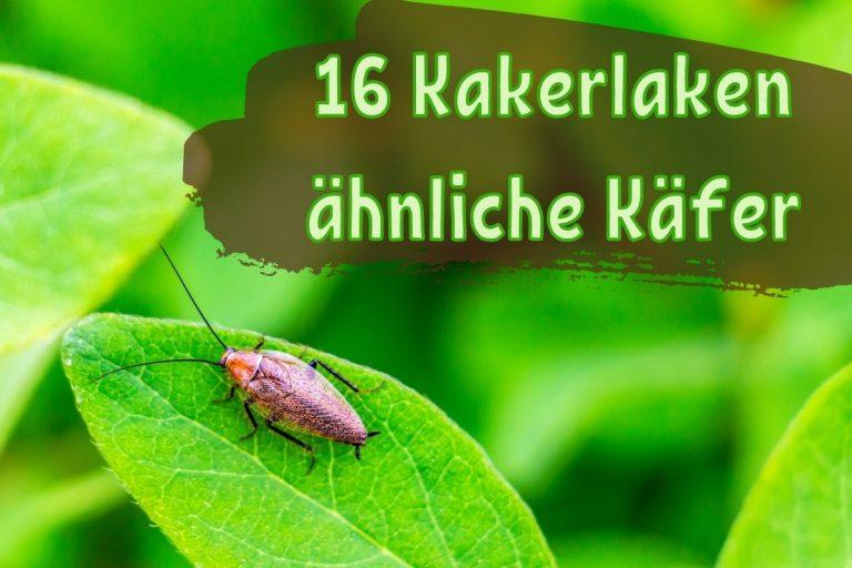 Kakerlaken ähnliche Käfer - Titel