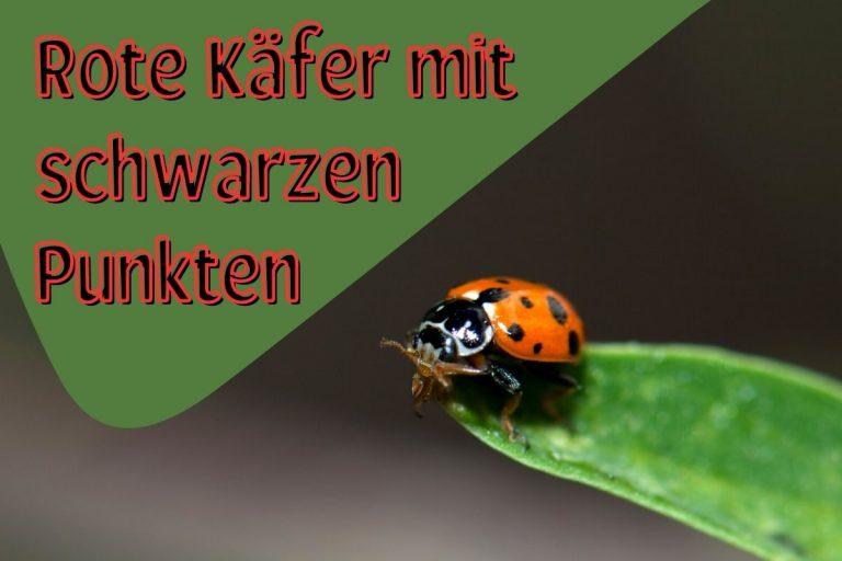 Roter Käfer mit schwarzen Punkten - Titel
