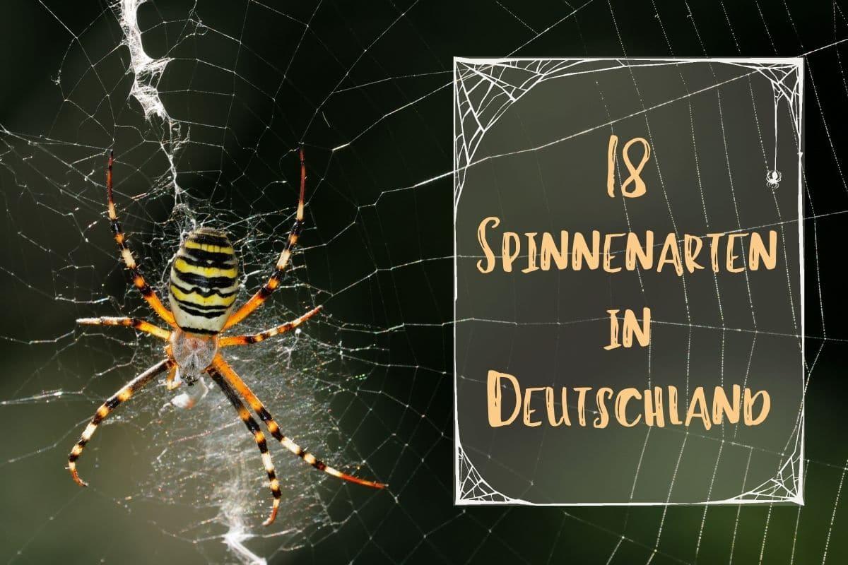 Spinnenarten in Deutschland - Titel
