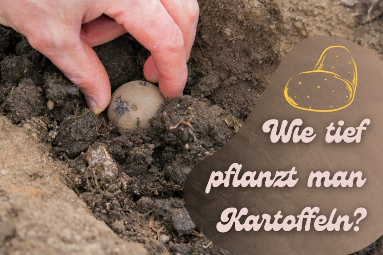 Wie tief pflanzt man Kartoffeln - Titel