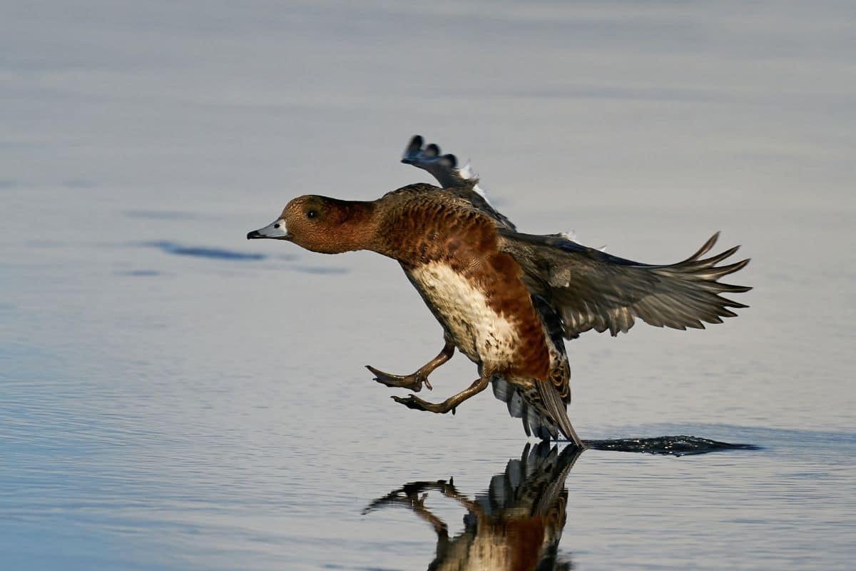 Bild einer Pfeifente im Landeanflug auf einen See
