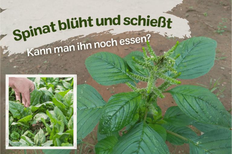 Titelbild zu Spinat schießt kann man ihn noch essen