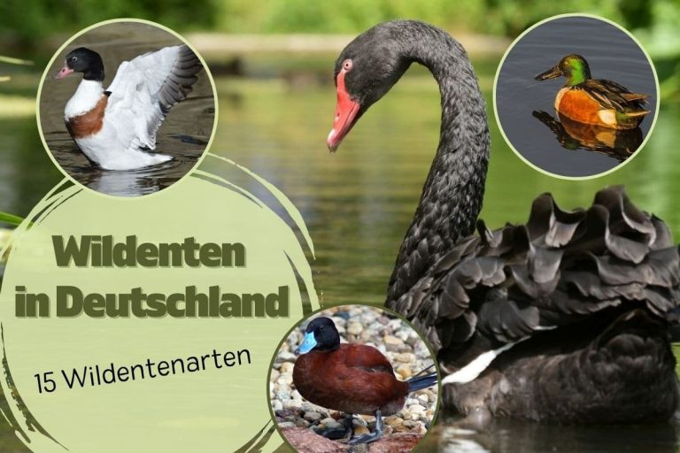 Titelbild: Wildentenarten in Deutschland: 15 Wildentenarten
