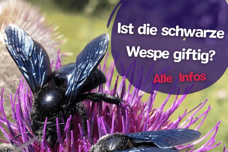 Titel Ist die Schwarze Wespe giftig?