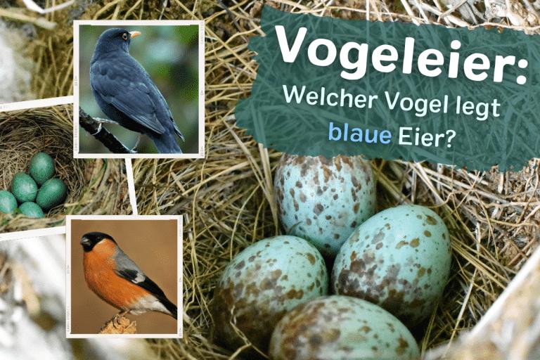 Titelbild welcher vogel legt blaue vogeleier