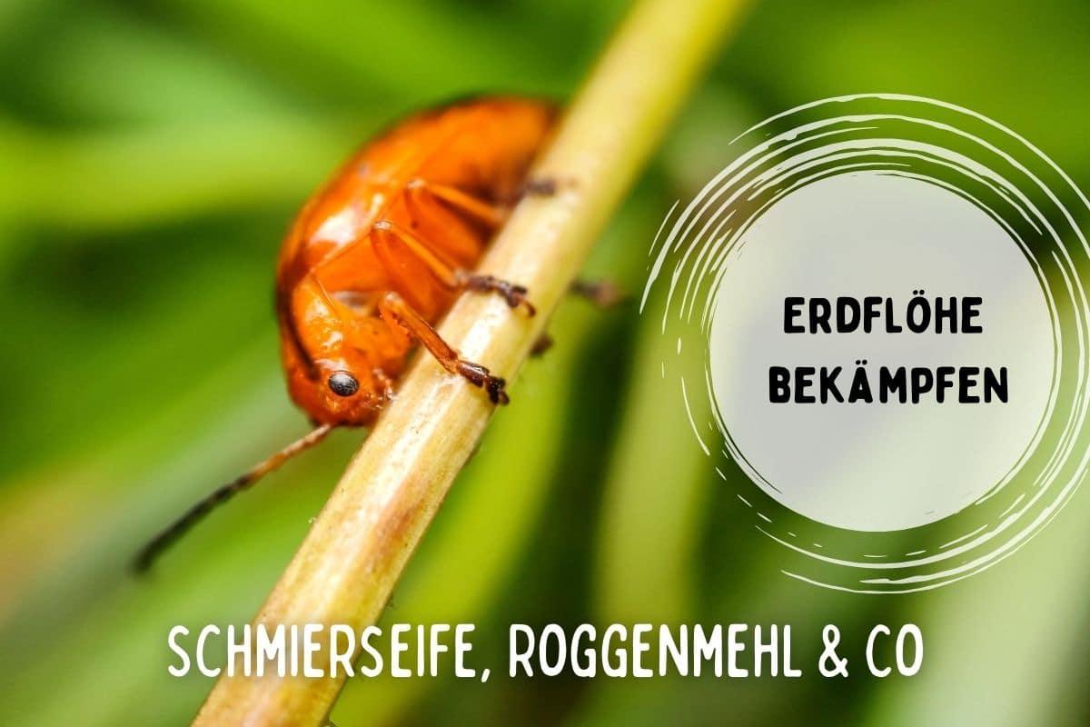 Titelbild von Erdflöhe bekämpfen mit Schmierseife, Roggenmehl und Co.
