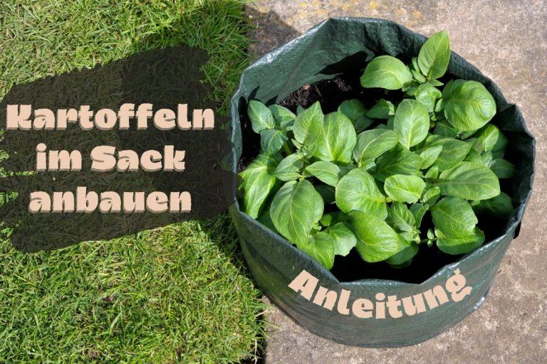 Kartoffeln im Sack pflanzen