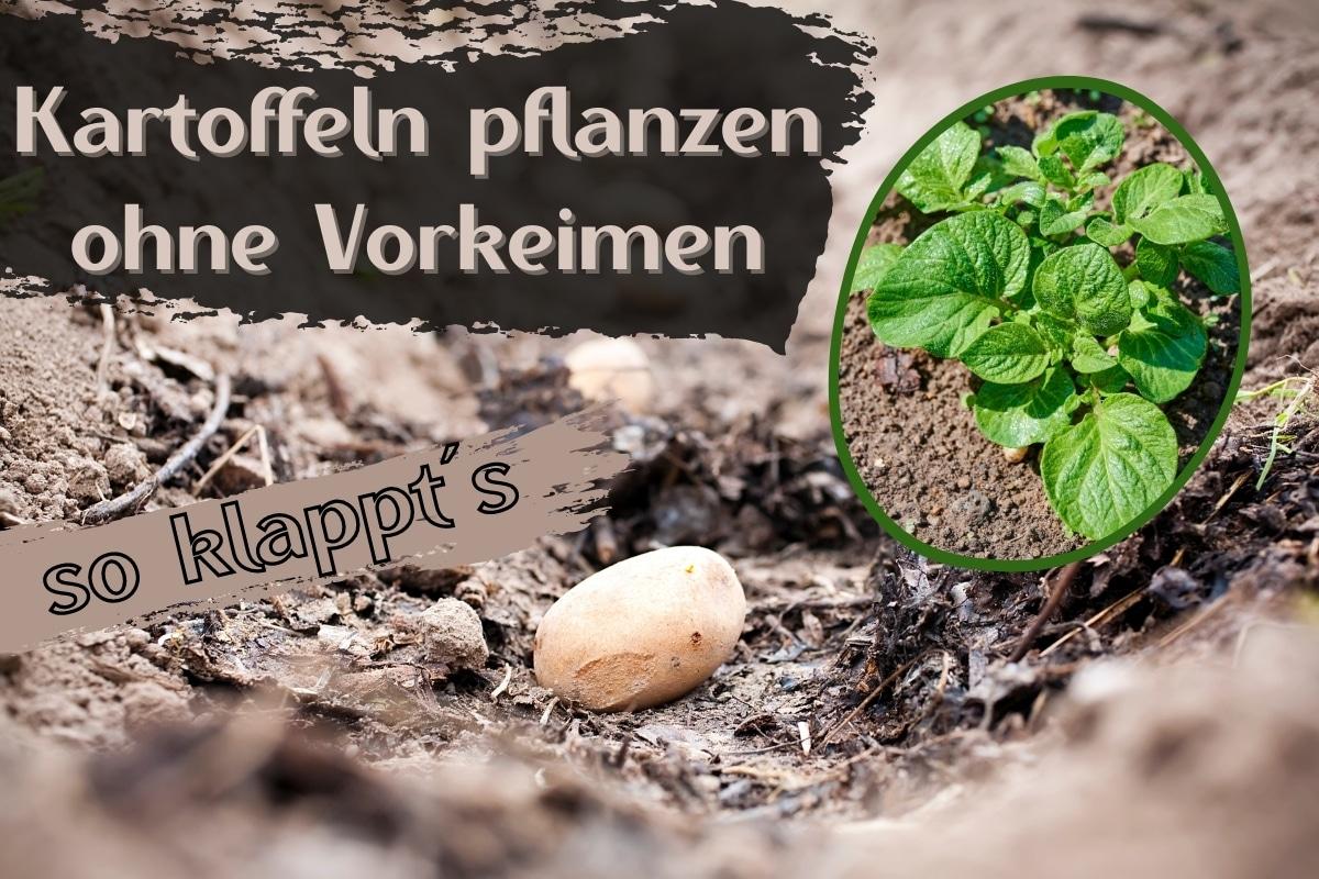 Kartoffeln pflanzen ohne Vorkeimen - Titel