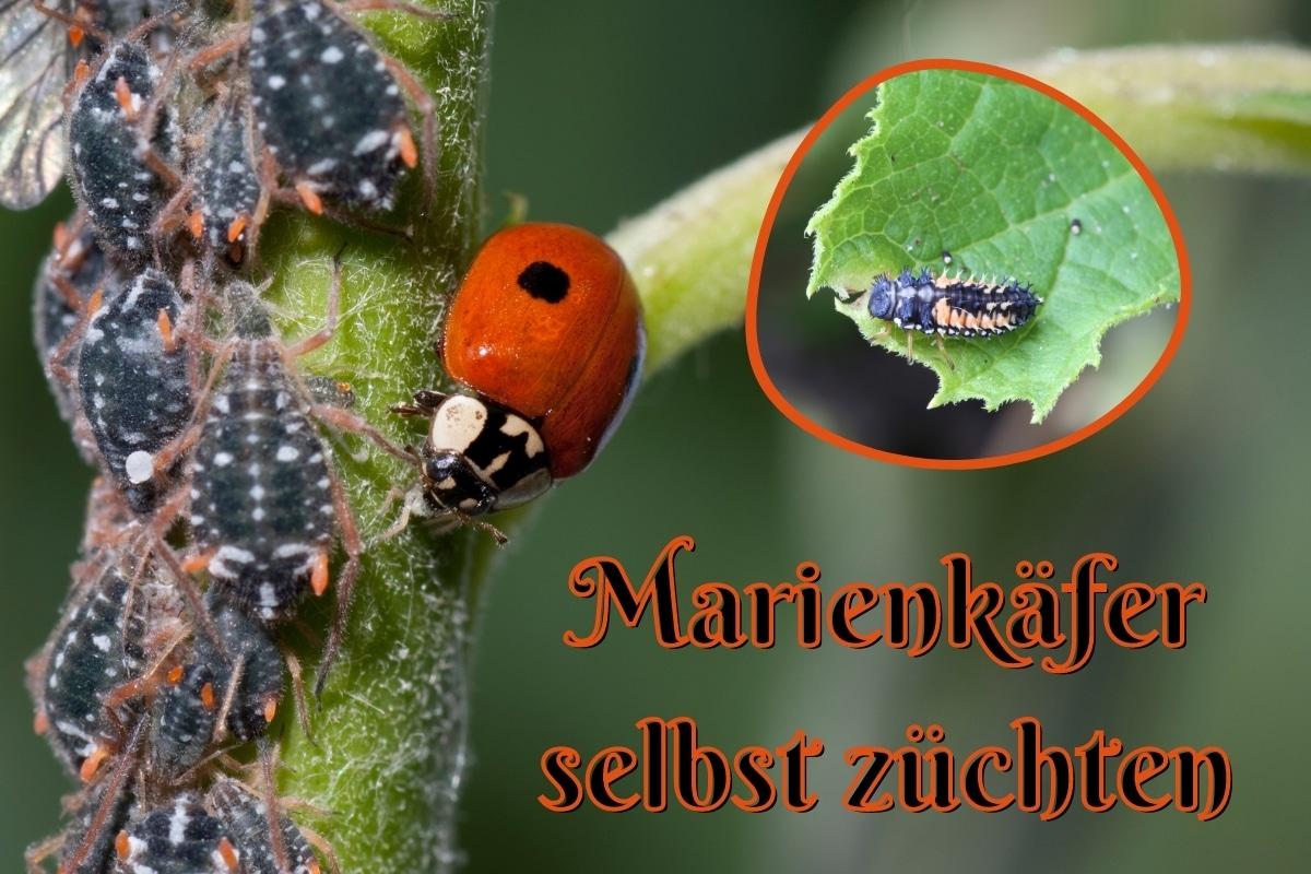 Marienkäfer züchten - Titel